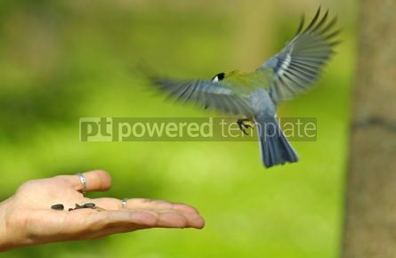 Animals: Bird flying to the hand with a seeds #04993