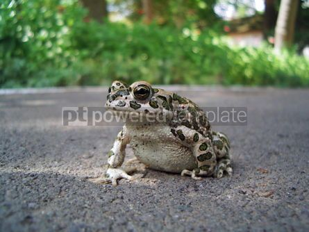 Animals: European Green Toad #04994