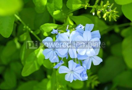 Nature: Gentle blue flowers #05093