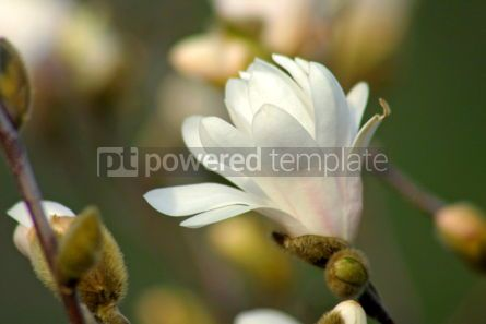 Nature: White magnolia flower #05094
