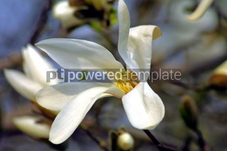 Nature: White magnolia flower #05095