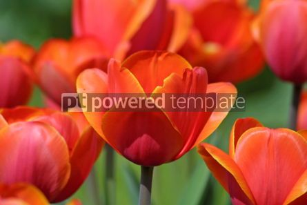 Nature: Close-up orange tulips in the garden #05102