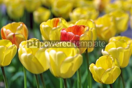 Nature: Yellow tulips #05103
