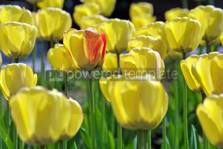 Nature: Yellow tulips #05104