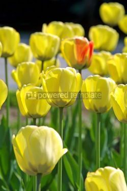 Nature: Yellow tulips #05105