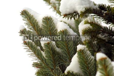 Nature: Snowy fir-tree branches #05106