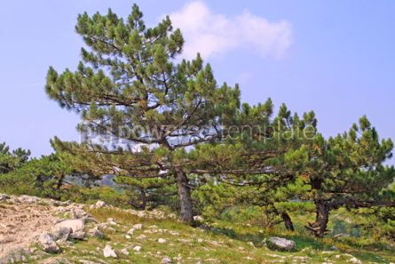 Nature: Small pine-trees on a mountains slope #05108