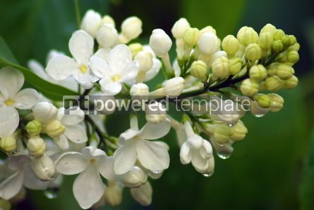 Nature: Close-up branch of white lilac in the garden #05357