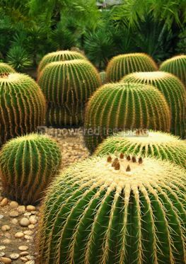 Nature: Giant cactuses  #05358