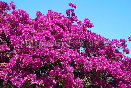 Nature: Bougainvillea #05360