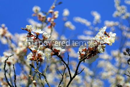 Nature: Cherry blossom #05371