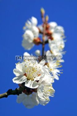Nature: Cherry blossom #05372