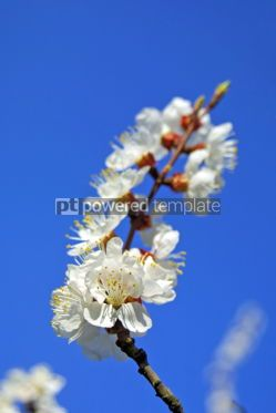 Nature: Cherry blossom #05373