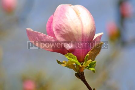 Nature: Pink magnolia flower #05380