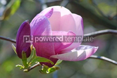 Nature: Pink magnolia flower #05381