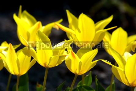 Nature: Yellow tulips #05383