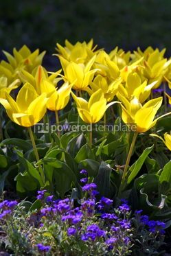 Nature: Yellow tulips #05384
