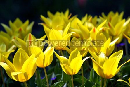 Nature: Yellow tulips #05385