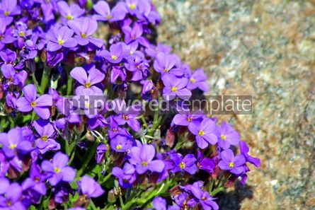 Nature: Small spring tender flowers #05387