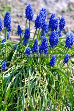 Nature: Blue grape hyacinth #05388