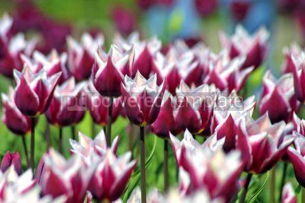 Nature: Violet tulips #05389