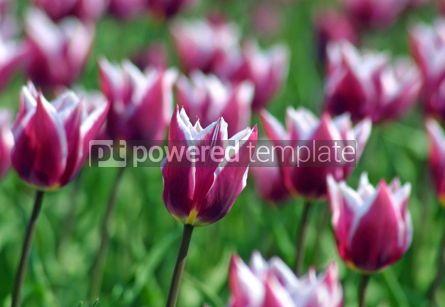 Nature: Violet tulips #05390
