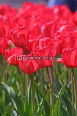 Nature: Red tulips #05391