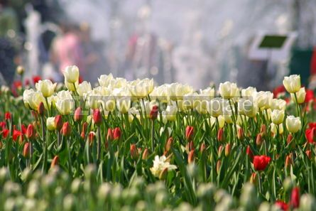 Nature: White tulips #05392