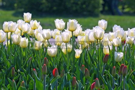 Nature: Yellow tulips #05393