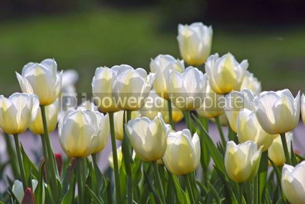 Nature: White tulips #05394