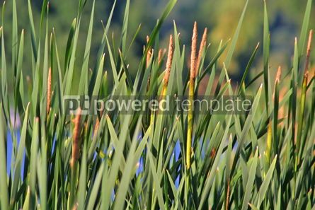 Nature: Green bulrush near the lake #05398