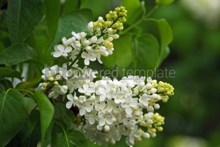 Nature: Branch of white lilac in the garden #05401