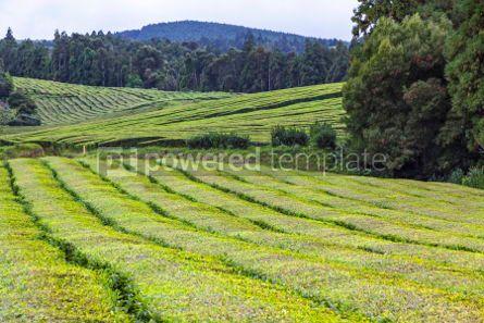 Nature: Tea plantations on Sao Miguel island Azores Portugal #05792