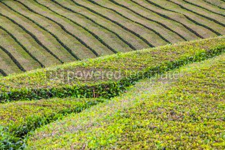 Nature: Tea plantations on Sao Miguel island Azores Portugal #05793
