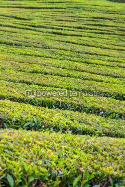 Nature: Tea plantations on Sao Miguel island Azores Portugal #05794
