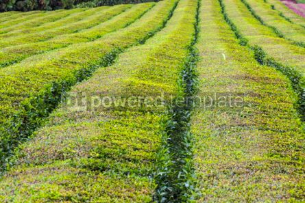 Nature: Tea plantations on Sao Miguel island Azores Portugal #05795