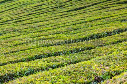 Nature: Tea plantations on Sao Miguel island Azores Portugal #05796