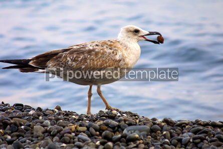 Animals: Seagull #05805