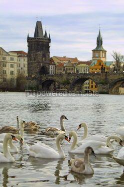 Animals: Swans on Vltava river in Prague #05806