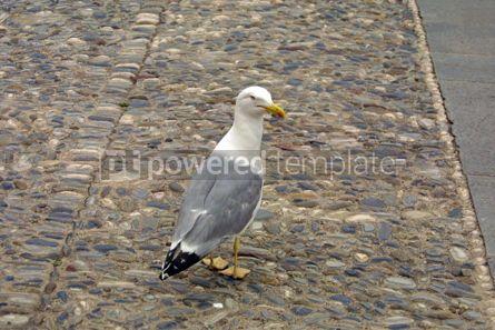 Animals: Seagull #05809