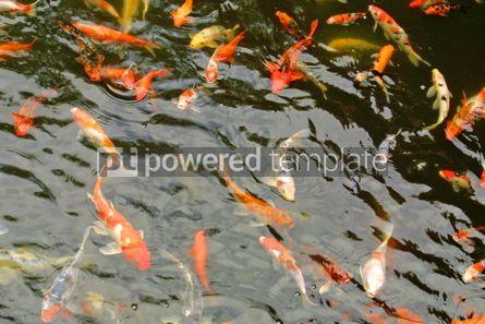 Animals: giant goldfish #05810