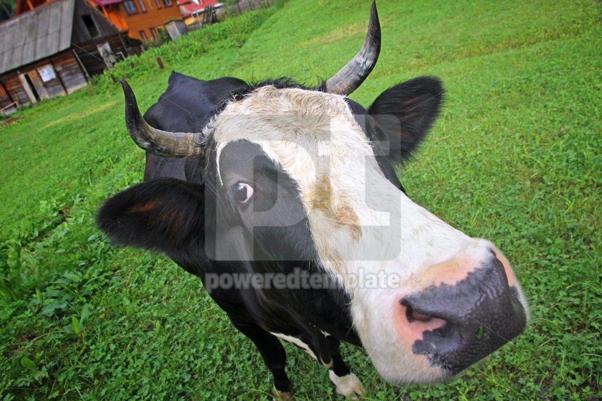 Cow on a summer pasture, 05811, Animals — PoweredTemplate.com