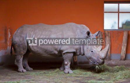 Animals: Rhino chews grass in a Zoo aviary #05815