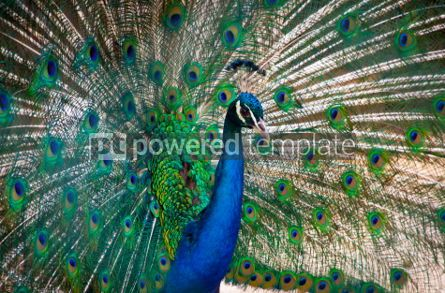 Animals: Beautiful peacock with feathers out #05816