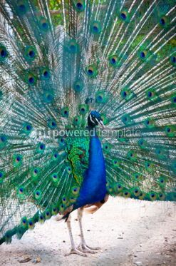 Animals: Beautiful peacock with feathers out #05817