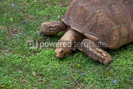 Animals: Giant Galapagos turtle #05819