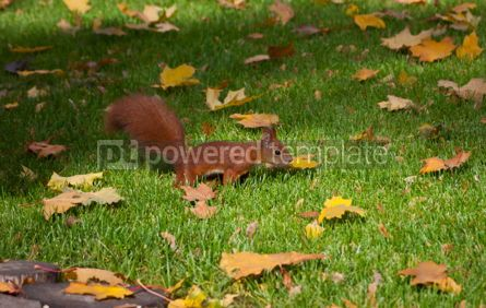 Animals: Red squirre jumping in an autumn grass #05820