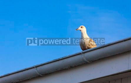 Animals: Silver seagull stay on a roof #05822