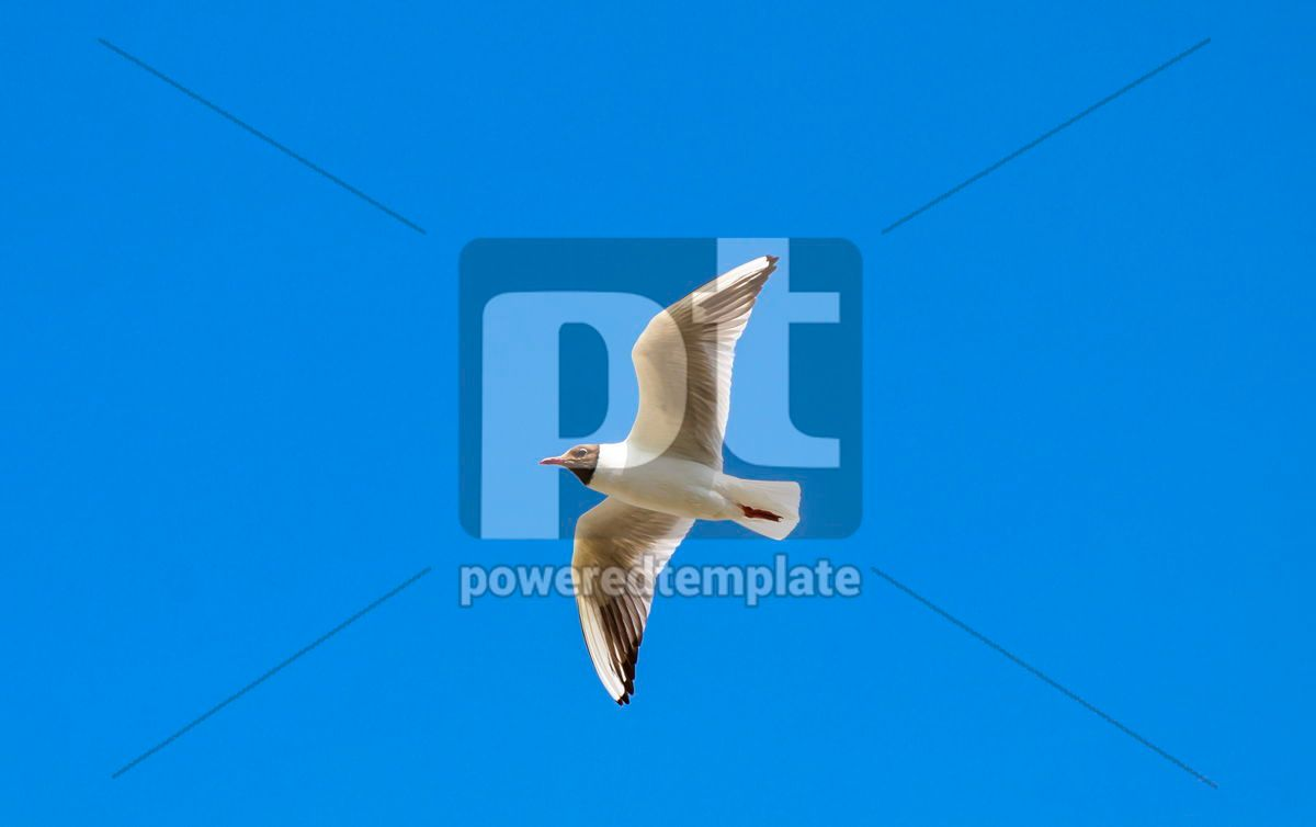 Silver seagull in flight against a blue sky background, 05825, Animals — PoweredTemplate.com
