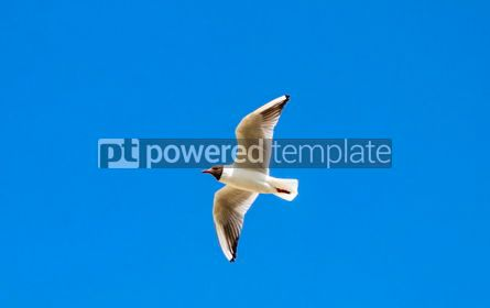 Animals: Silver seagull in flight against a blue sky background #05825